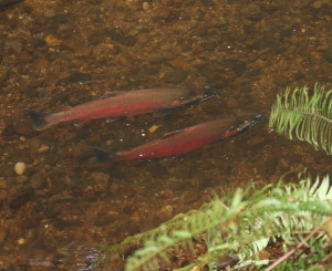 Coho Salmon return to Oregon's North Coast Photo by Neal Maine