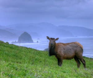 Cow_elk_near_haystack_rock,_Cannon_Beach,_OR
