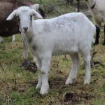 The Art of Organic Goat Cheese