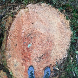 """About 115 years old, this tree was cut when our government built a road to a proposed new timber sale in the """"Homesteader Tract"""" of forest. Photo by Pearl Rasmussen."""