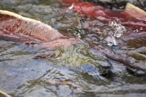 salmon-in-stream-water