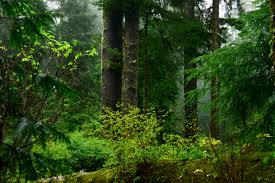 Spotted Owl and Marbled Murrelet Habitat, Oregon Coastal Forest. Photo by David Patte, U.S. Fish and Wildlife Service